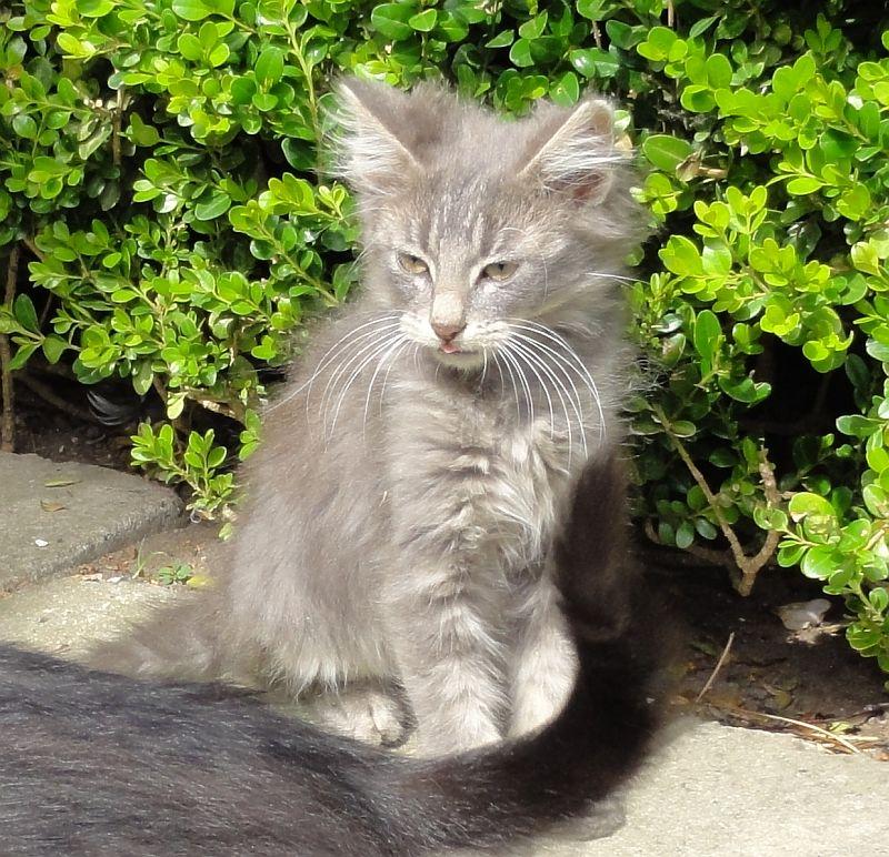 langhåret kat til salg